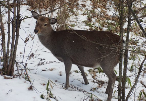 信州蓼科の鹿